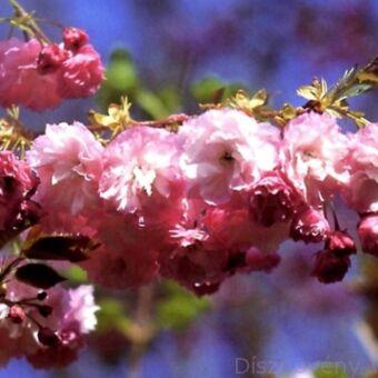Pink Perfection japán díszcseresznye virágzó ág
