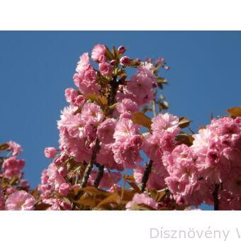 Japán díszcseresznye virágzás