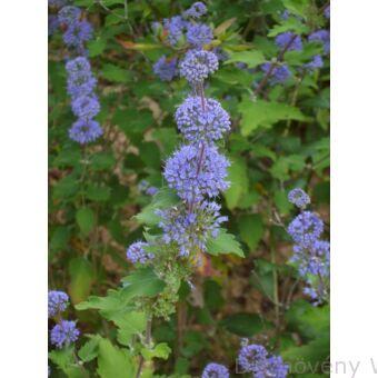 Kínai kékszakáll virágzás