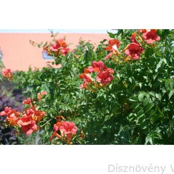 Trombitafolyondár virágzásban