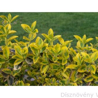 Aranytarka kúszó kecskerágó levelek