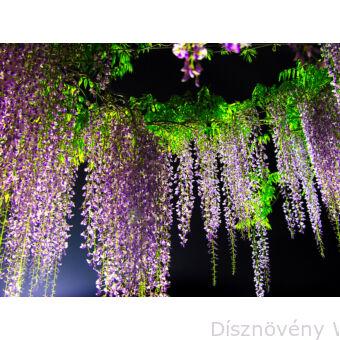 Lilaakác virágzás