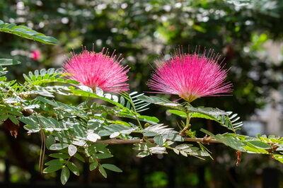 Albizia julibrissin virágkép