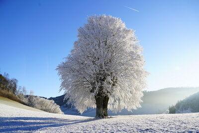 Zúzmarás fa kép