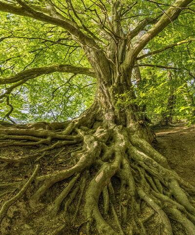 Őserdei fa