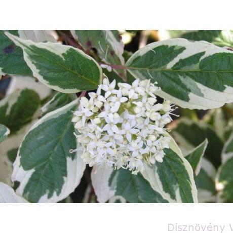 Tarkalevelű fehér som levél, virág