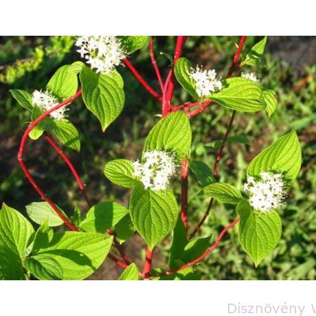 Szibériai fehér som virágzás