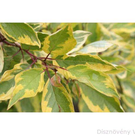 Sárgatarka fehér som levelek