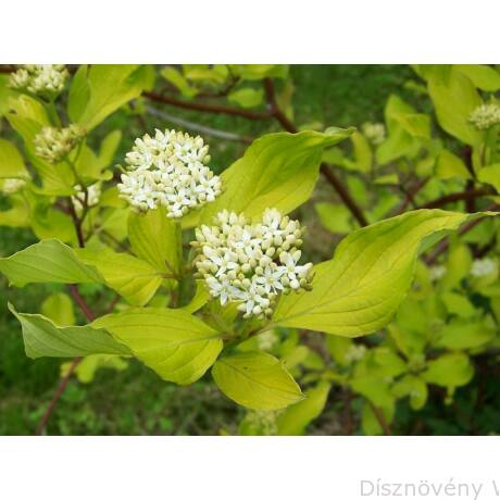 Fehér som virágzás