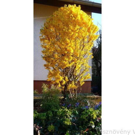 Lynwood kerti aranycserje formázva, virágzásban