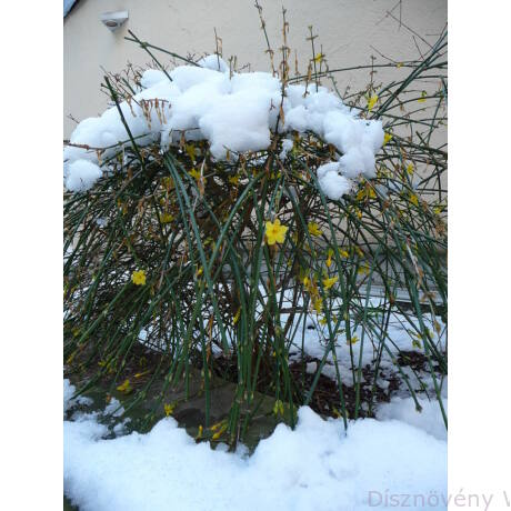 Téli jázmin téli virágzás