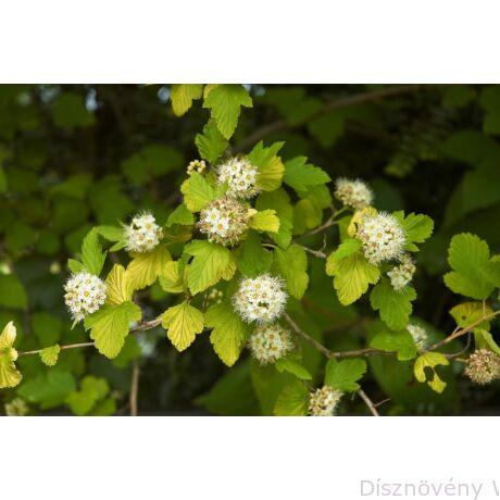 Luteus sárga levelű hólyagvessző virágzása