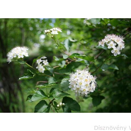 Hólyagvessző virágok