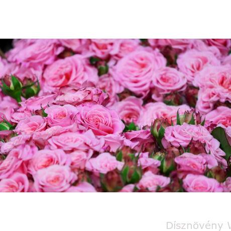 Rózsaszín terülőrózsa teljes virágpompa