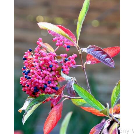 Pink Beauty bangita őszi levél- és termésdísz