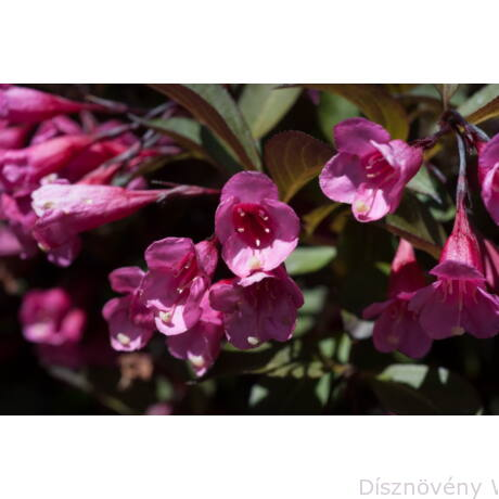 Alexandra rózsalonc virág, levél