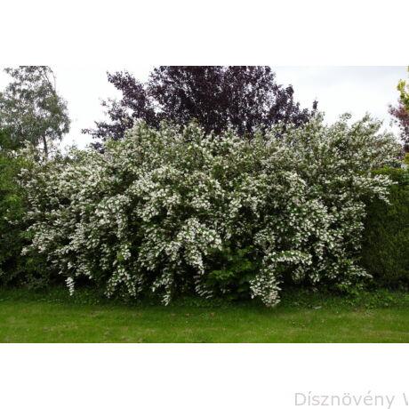 Érdeslevelű gyöngyvirágcserje szoliter kiültetésű megjelenése virágzáskor