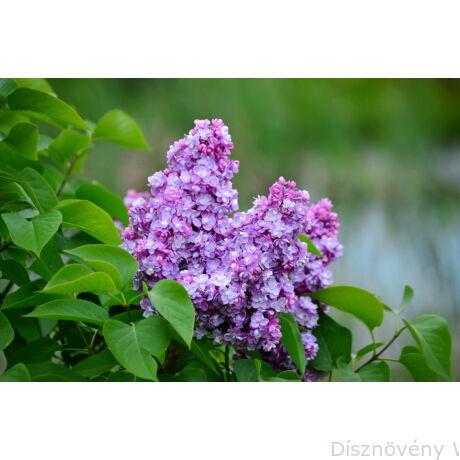 Orgonabokor virágzása