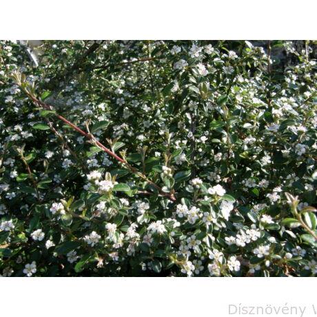 Skogholm kúszómadárbirs virágzás