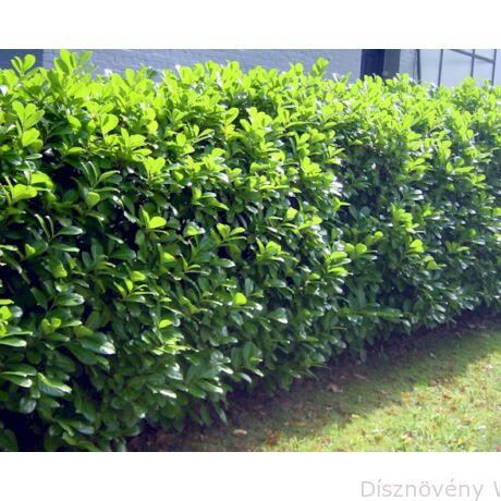 Rotundifolia babérmeggy sövény