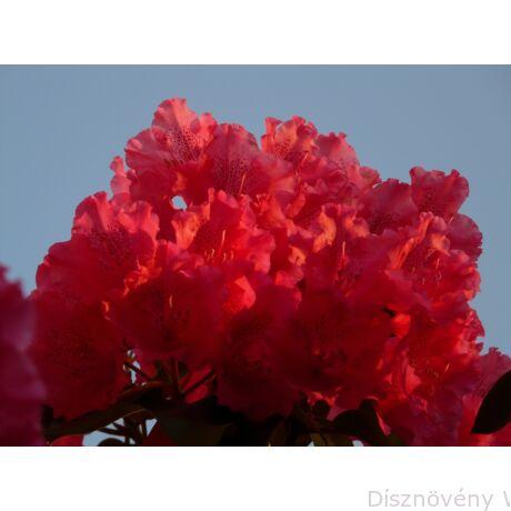 Havasszépe vagy rododendron pirosan virágzó