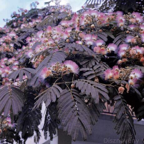 Summer Chocolate selyemakác virágzásban