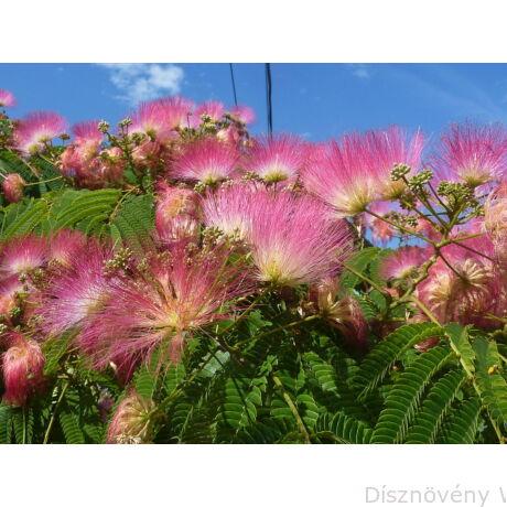 Selyemakác virágzás