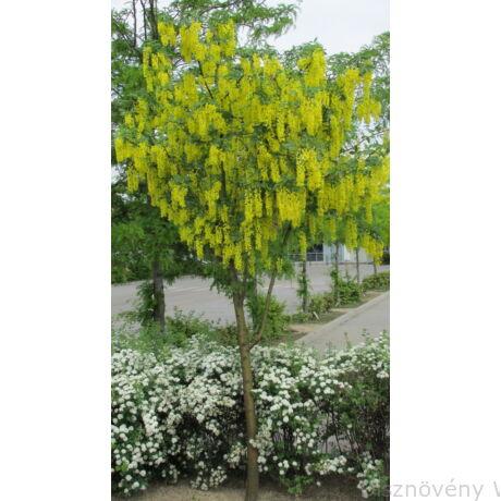 Hosszúfürtű aranyeső, virágzó díszfaként