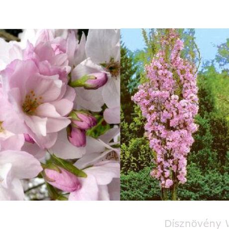 Oszlopos japán díszcseresznye virág, habitus