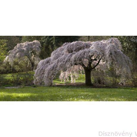 Csüngő japán díszcseresznye tavaszi virágfíszben