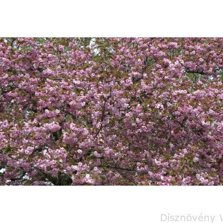 Royal Burgundy japán díszcseresznye virágzásban