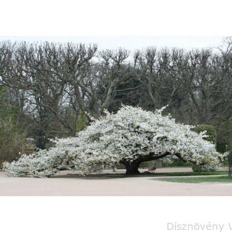 Fehér virágú japán díszcseresznye habitus, virágzásban