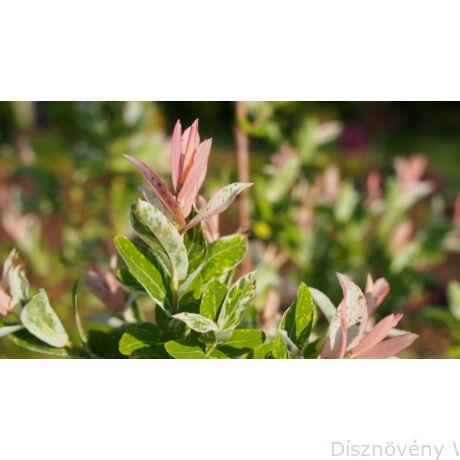 Tarkalevelű japán fűz színes levelei