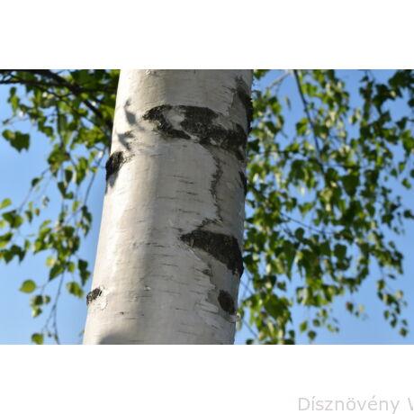Nyírfa törzs, fehér kéreg, zöld levél