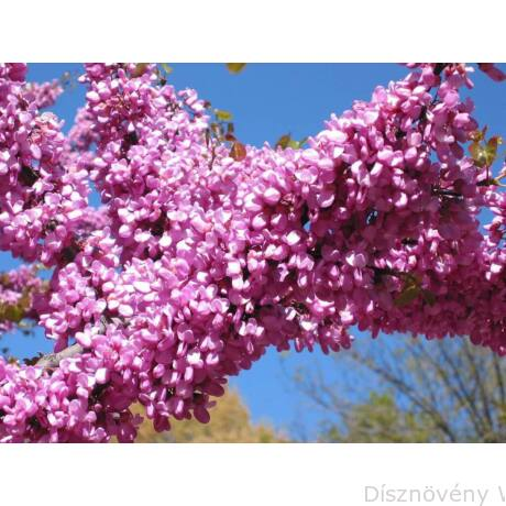 Közönséges júdásfa virág