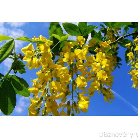 Hosszúfürtű aranyeső virágzásban