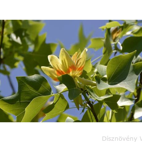 Amerikai tulipánfa virág, levél
