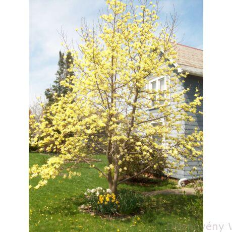 Yellow River sárga virágú liliomfa habitus