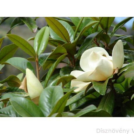 D.D. Blanchard örökzöld liliomfa virágok