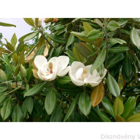 Edit Bague örökzöld liliomfa virágok, lomb