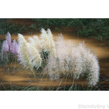 Ezüstös pampafű virágpompa