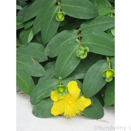 Örökzöld orbáncfű virág, levél