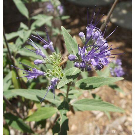 Angol kékszakáll virágzás