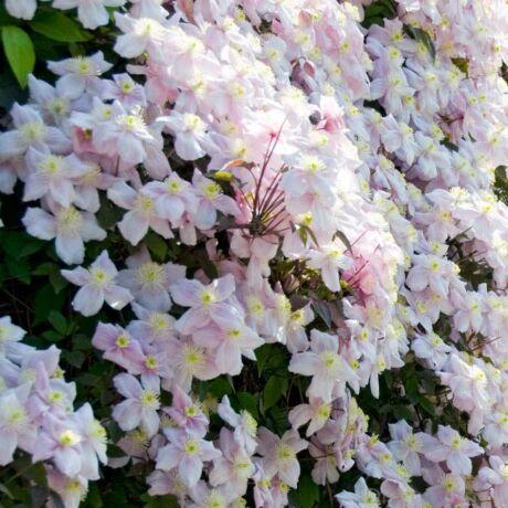 Hegyi iszalag virágzásban