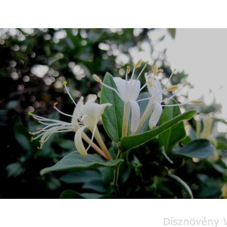 Örökzöld japán lonc virágzásban