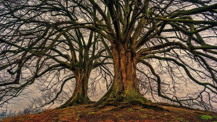 Idős fa kép