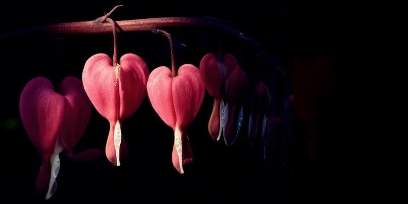 Szívvirág/Dicentra virágkép