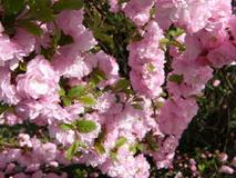 Díszmandula virágzása
