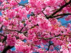 Virágzó díszcseresznye kép